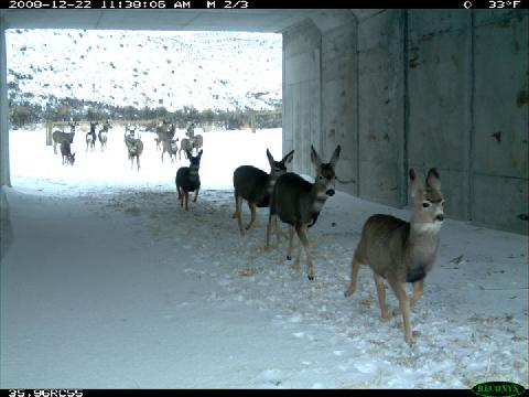 deer-using-underpass_resize.jpg