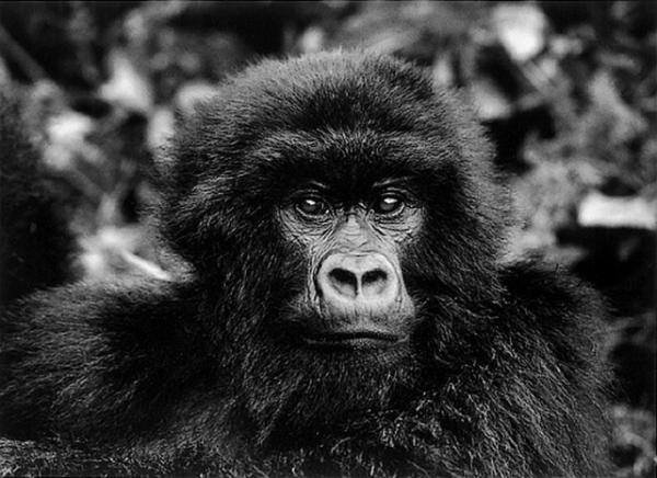 salgado-genesis-gorilla.jpg