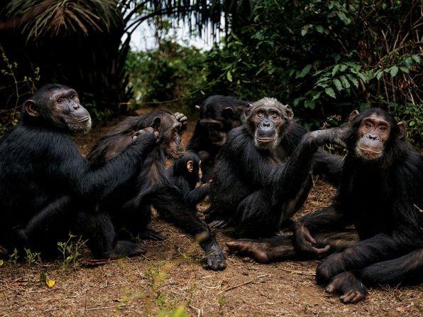 chimpanzee-goodall-gombe-tanzania_81644_990x742.jpg