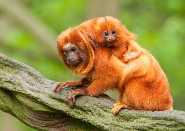 golden-lion-tamarin.jpg.990x0_q80_crop-smart.jpg