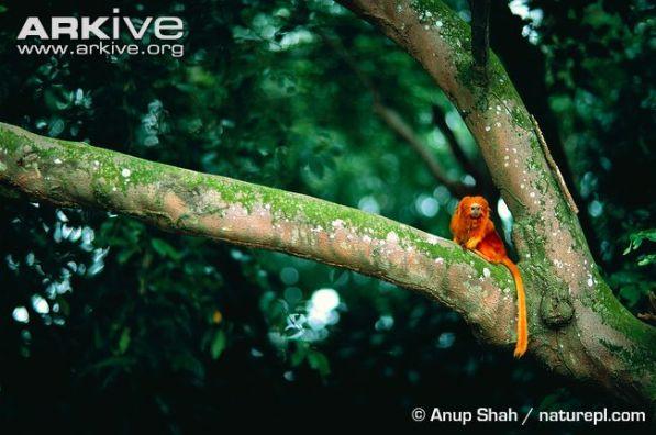 Golden-lion-tamarin-in-tree (1).jpg