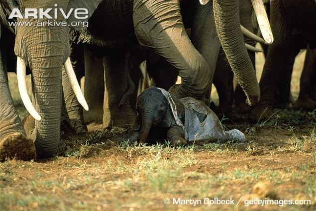 Newborn-African-elephant.jpg