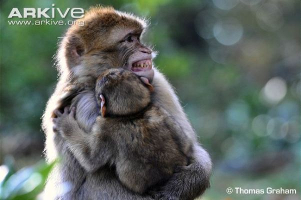 Barbary-macaque-teeth-chattering-to-the-young.jpg