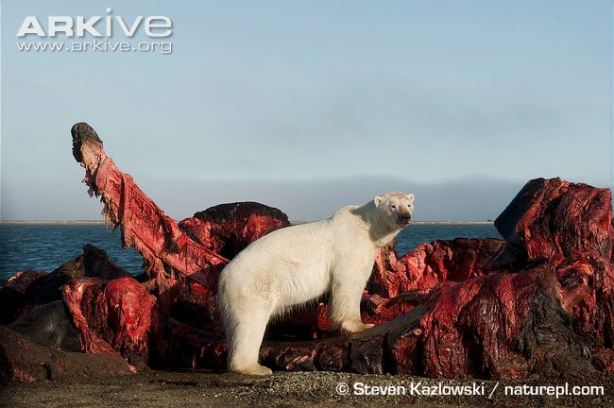 Bowhead-whale-carcass-with-polar-bear-scavenging-meat.jpg