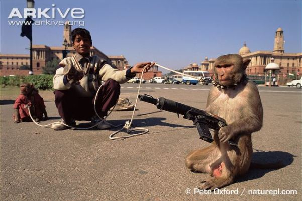 Captive-rhesus-macaque-posed-with-toy-gun.jpg