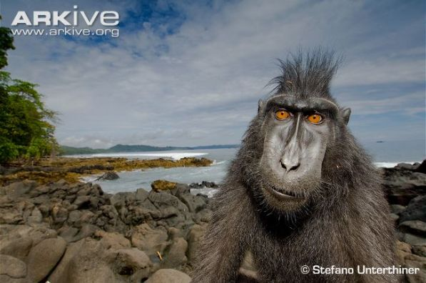 Crested-black-macaque-at-coast.jpg