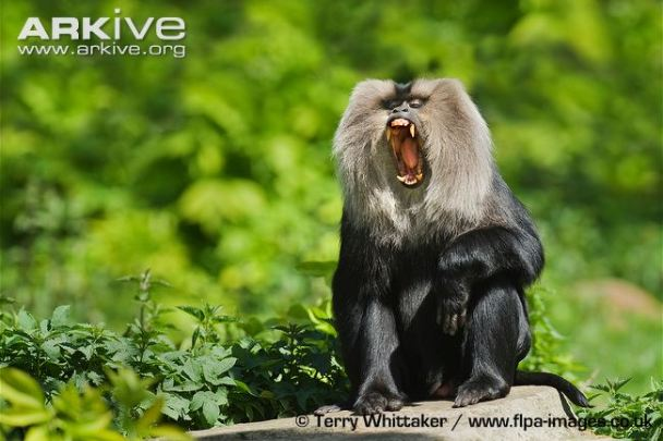 Lion-tailed-macaque-yawning-captive.jpg
