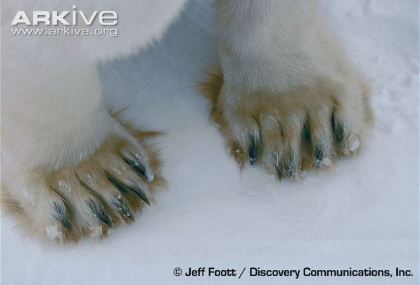 Polar-bear-front-paws.jpg