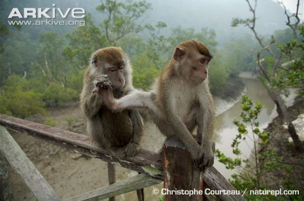 Two-crab-eating-macaques-allogrooming.jpg