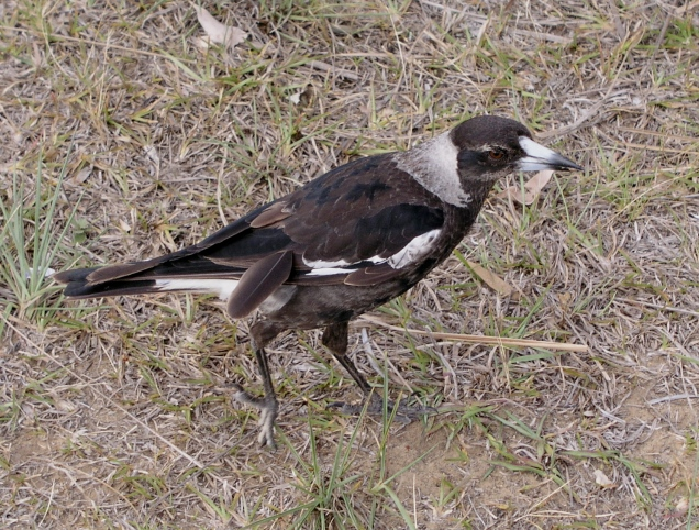 juvenile-magpie-1566521.jpg