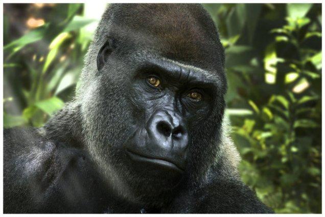 gorilla__s_stare_by_zx30-d5c4fka.jpg