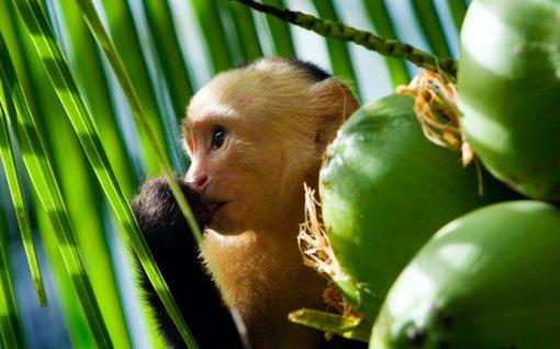 capuchin_monkey_by_janikl.jpg