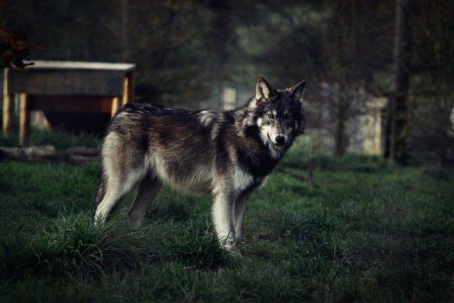 wolf_by_blackice_wolf-d4gjm92.jpg