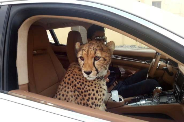 Cheetah-In-Car.jpg