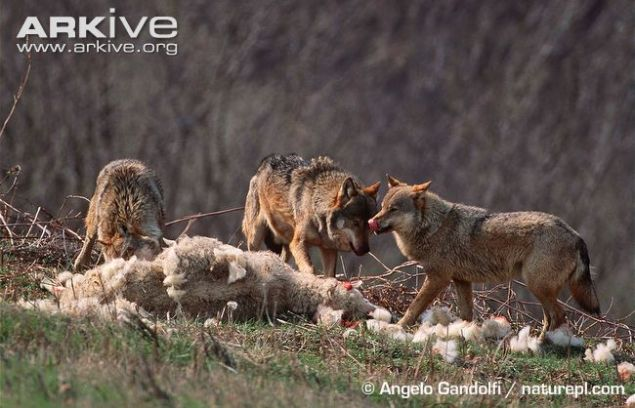 Pack-of-Eurasian-wolves-feeding-on-domestic-sheep-carcass.jpg