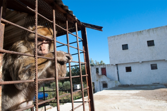 photos_moroccan_monkeys_5.jpg