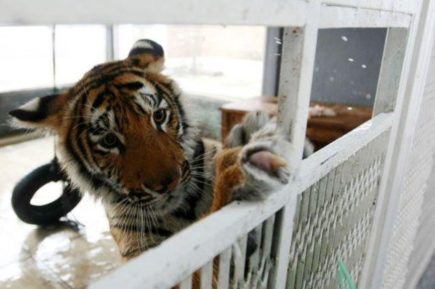 tiger_640